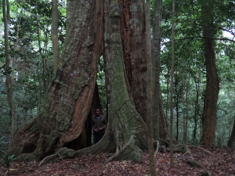 Handrison Mwameso, the guide from Dawida BiodiversityConservation group (DABICO) in the cave tree in Ngangao forest. Copyright Rupi Mangat