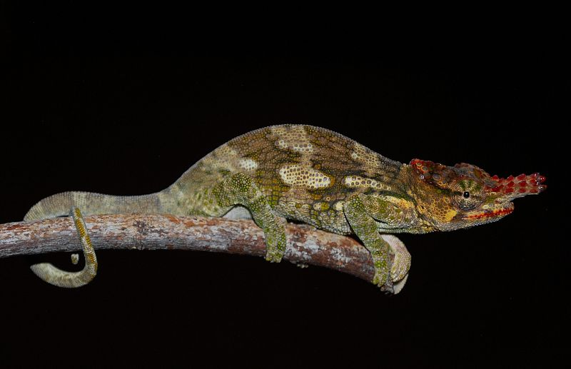 rediscovered the Chyulu Hills Chameleon_01 (800x517)