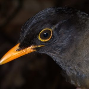 Taita Thrush in neighbouring Yale forest where there are 2 pairs - copyright Luca Borghesio