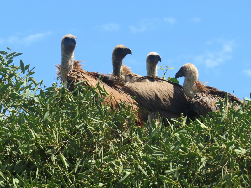 White-backed Vultures atop the trees by the side of the red road of Tsavo Copyright Rupi Mangat
