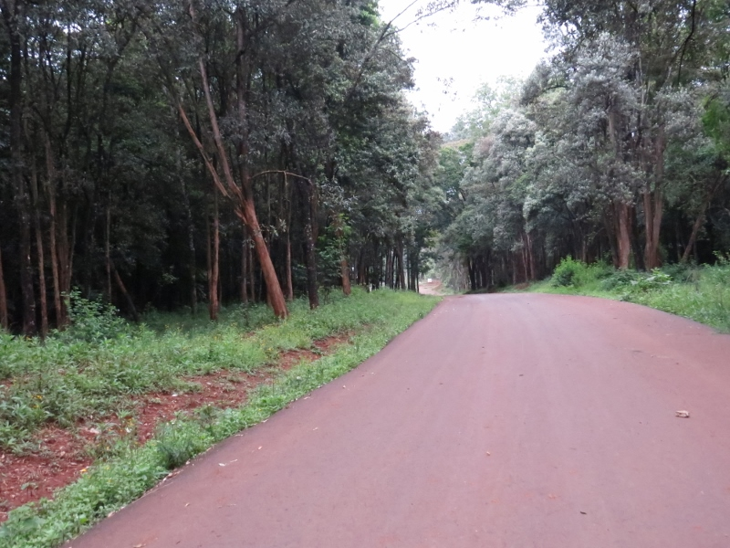 The path is lined with Brachylaena huillensis or muhugu, the wood-carvers' favourite tree because it's so beautiful to work with – but so over-harvested that it's endangered in many places. Copyright Rupi Mangat
