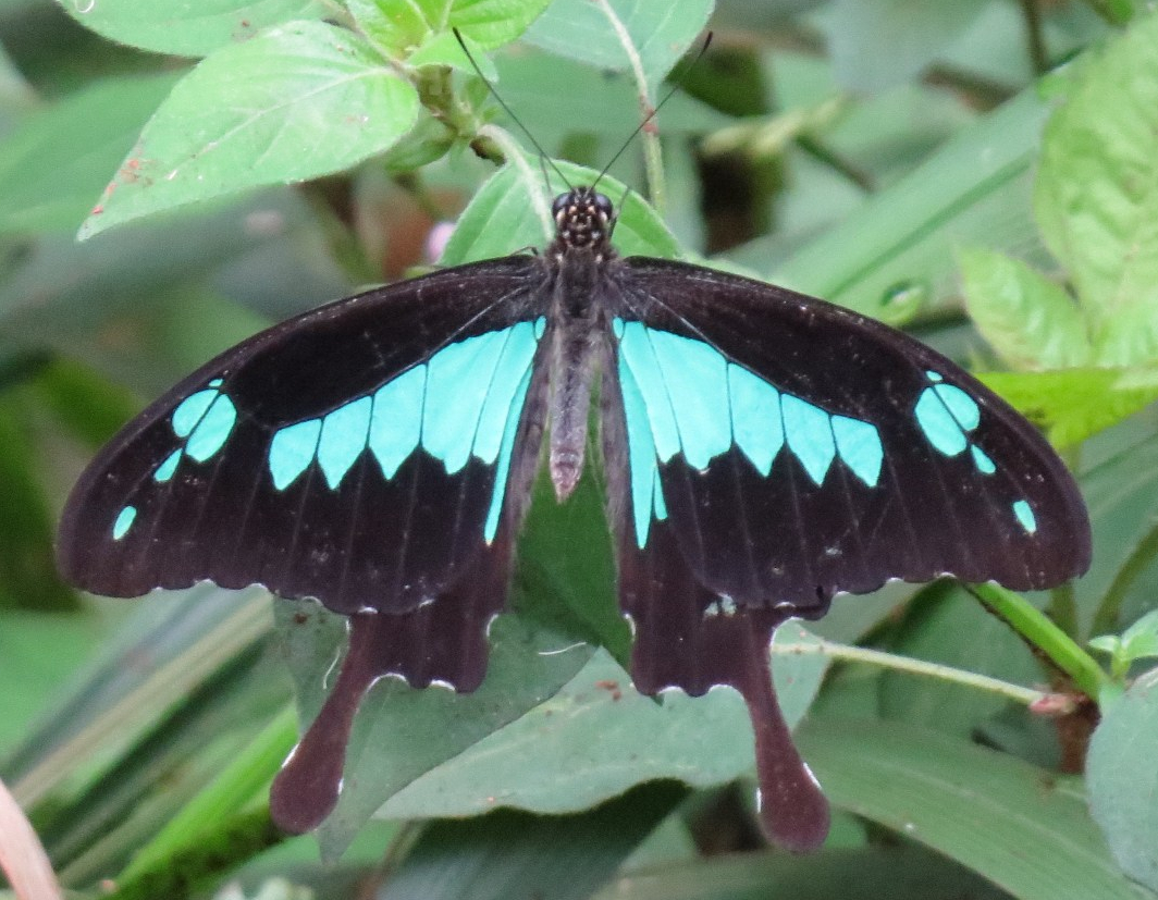 Swallowtail at rest wth wings open in Ngong Road Forest. Copyright Rupi Mangat