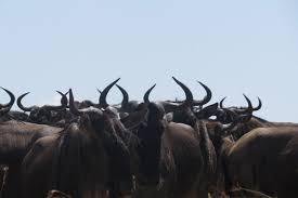 wildebeest (275x183)