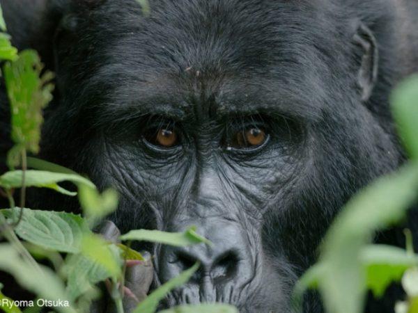 Adult-female-gorilla-Mitunu-Mubare-family-2-1024x724-640x480_c (640x480)