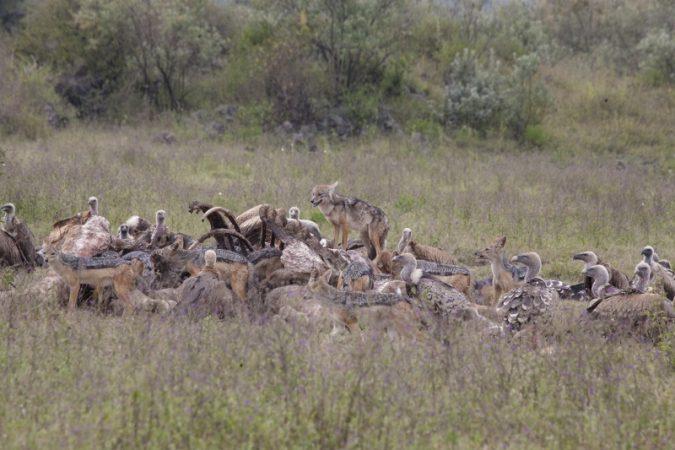 JackalsGiraffe vultures at soysambu copyright Kat Combes (800x533)