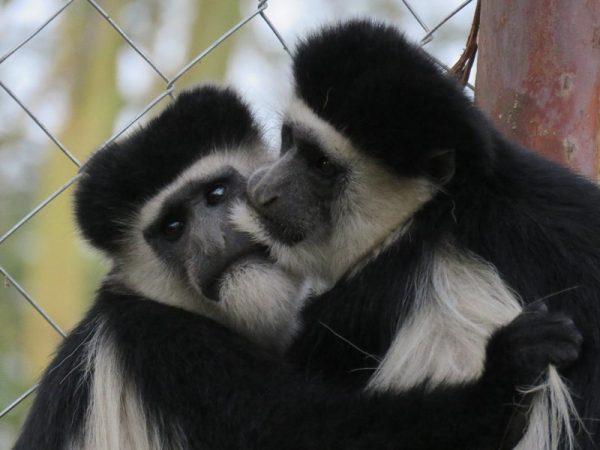 Kipipiriri colobus monkeys at Soysambu by Kat Combes (800x600)