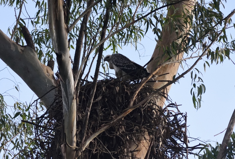 african crowned eagle Ngong Road Forest Sanctuary copyright Washington Wachira (800x542)