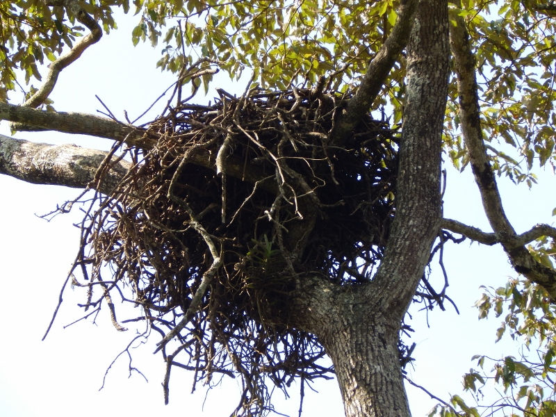 nest of african crowned eagle Ngong Road Forest Sanctuary copyright Washington Wachira (800x600)