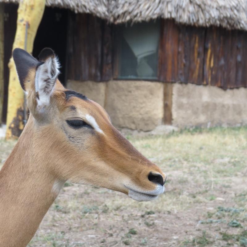 Impi the Impala in Naretunoi Conservancy, Kitengela  Copyright Rupi Mangat