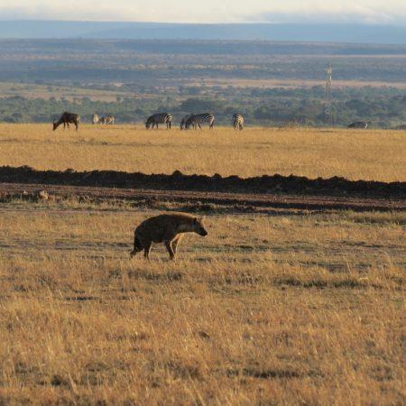 Hyena near the Talek Gate in Maasai Mara. Copyright Rupi Mangat