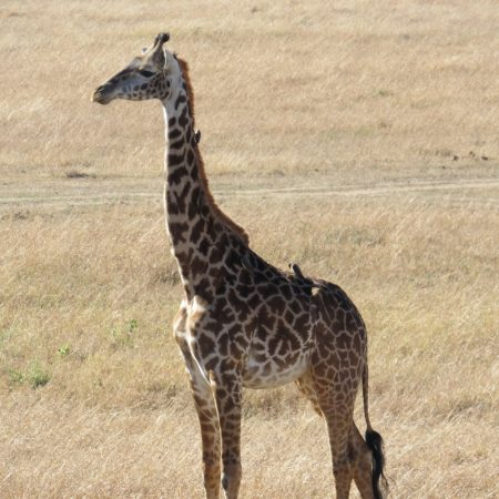 IYoung giraffe in Maasai Mara. Copyright Rupi Mangat