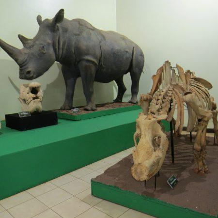 Karanja the black rhino - his skeleton next to a model of a white rhino - copyright Rupi Mangat