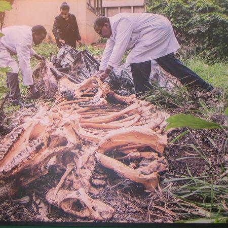 Unearthing Karanja the black rhino after a year at Nairobi Museum - copyright Rupi Mangat