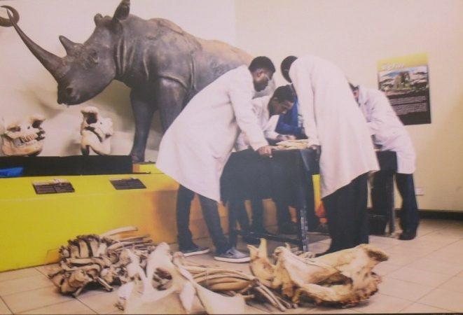 Karanja the black rhino being pieced together at Nairobi Museum - copyright Rupi Mangat