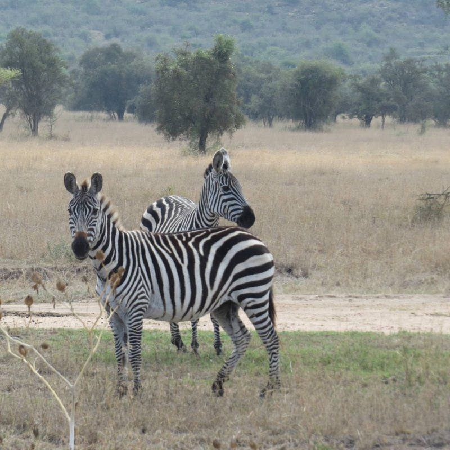 Zebra on the plains of Lukenya Hill. Copyright Rupi Mangat