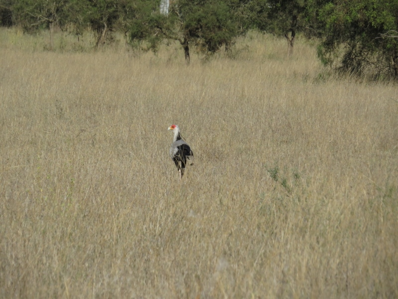 Secretary Bird on the plains of Lukenya Hill. Copyright Rupi Mangat