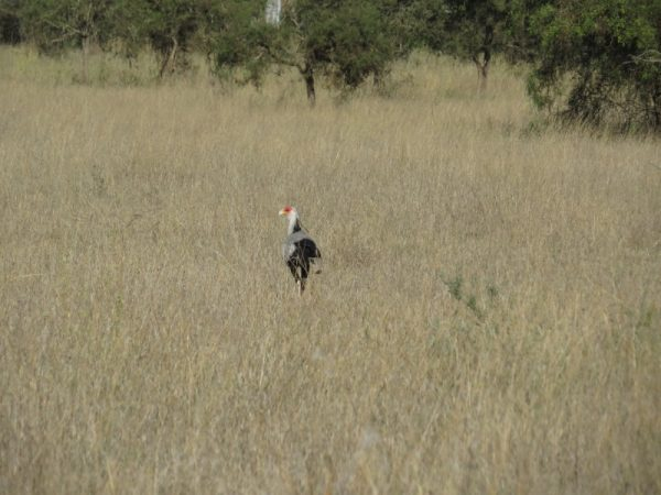 Secretary Bird on the plains of Lukenya Hill. Copyright Rupi Mangat