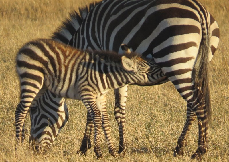 Female zebra and her calf suckling her - copyright Rupi MangatFemale zebra and her calf suckling her - copyright Rupi Mangat