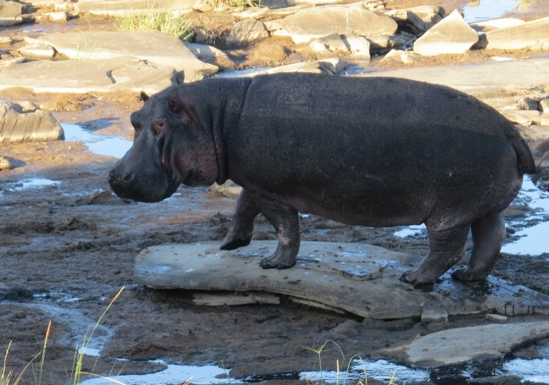 The hippo needs time alone in Mara - copyright Rupi Mangat