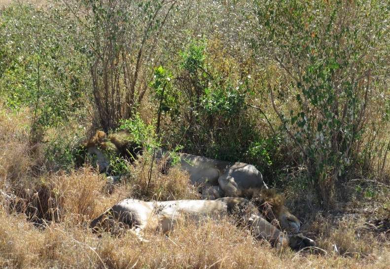 The black-maned lions in Mara - copyright Rupi Mangat