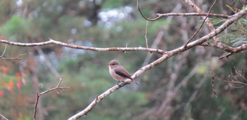 Ngangao Forest - African dusky flycatcheri - copyright Rupi Mangat
