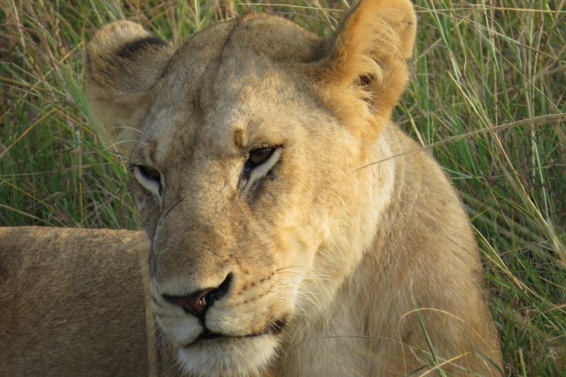 lion (800x533)