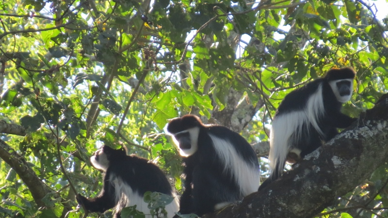 Colobus monkeys sunning theselves at Saiwa Swamp in the morning. Copyright Maya Mangat (800x450)
