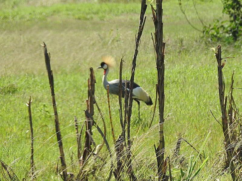 Grey crowned crane at Juja near the homes built close to swamps. Copyright Sdney Shema (800x597)