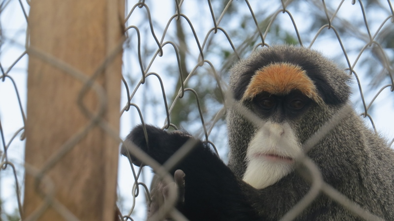 kitale nature conservancy rare debrazza monkey in cage. copyright maya mangat dec 2018 (800x450)