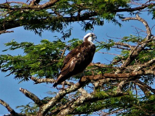 Osprey in Juja. Copyright James Kashangaki (800x601)