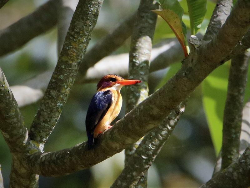 Pygmy Kingfisher. Copyright James Kashangaki (800x601)
