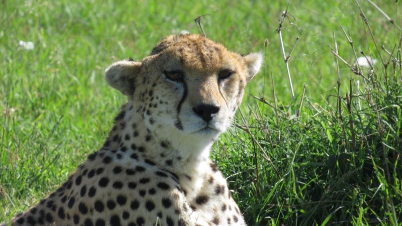 Cheetah Maasai Mara Jan 2019 Copyright Rupi Mangat 2 (800x450)