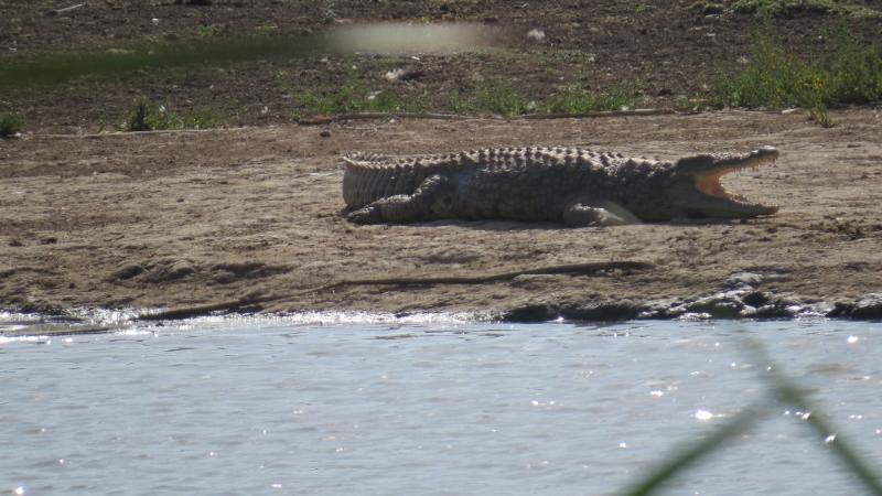 Crocodile in Nairobi National Park February 2019. Copyright Rupi Mangat (800x450)
