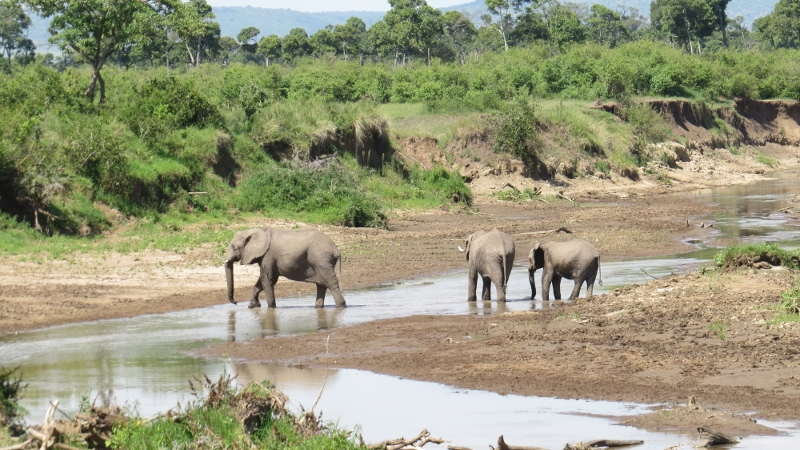 Elephants crossing Mara River Maasai Mara Jan 2019 Copyright Rupi Mangat 2 (800x450)