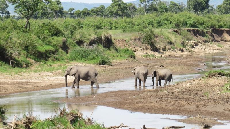 Elephants crossing Mara River Maasai Mara Jan 2019 Copyright Rupi Mangat 2 (800x450)