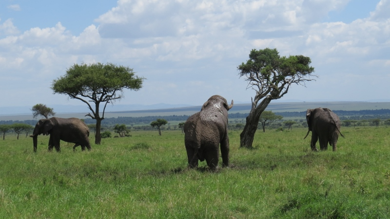 Elephant mud bath Maasai Mara Jan 2019 Copyright Rupi Mangat (800x450)