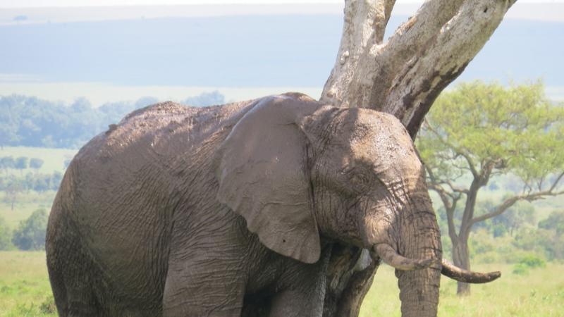 Elephant slumber Maasai Mara Jan 2019 Copyright Rupi Mangat 2 (800x450)