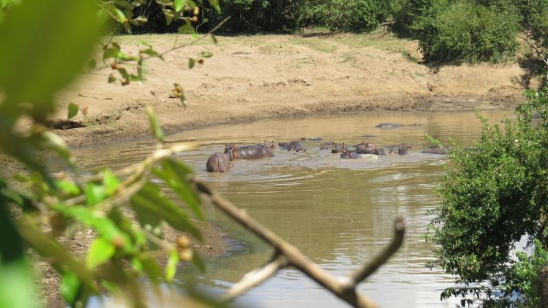 Hippo pod Maasai Mara Jan 2019 Copyright Rupi Mangat 2 (800x450)