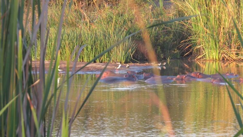 Hippos in Nairobi National Park February 2019. Copyright Rupi Mangat (800x450)