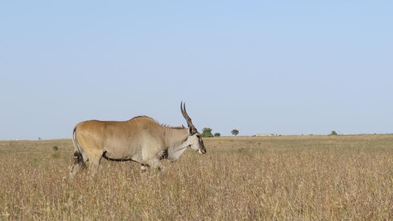 Impala in Nairobi National Park February 2019. Copyright Rupi Mangat (800x450)