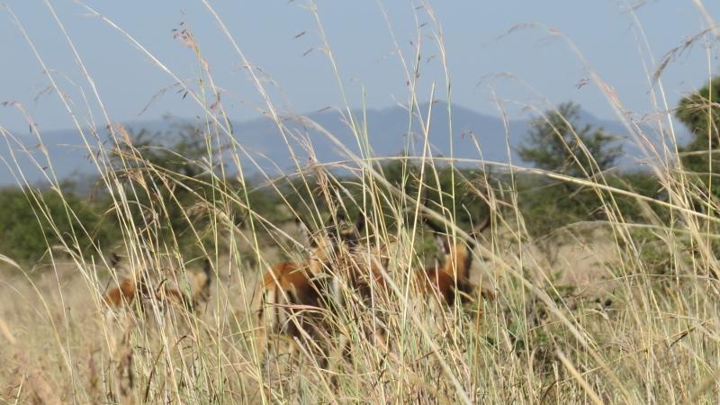 Ngong Hills with impala herd in Nairobi National Park February 2019. Copyright Rupi Mangat (800x450)