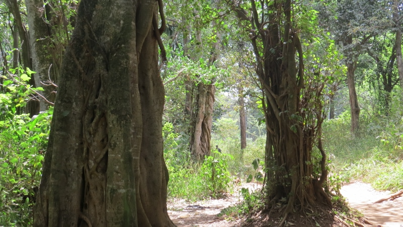 Forest trees Nairobi City Park. Copyright Rupi Mangat Feb 2019 (800x450)