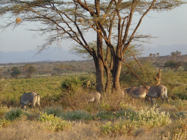 Grevy's zebra in northern Kenya. Copyright Rup iMangat
