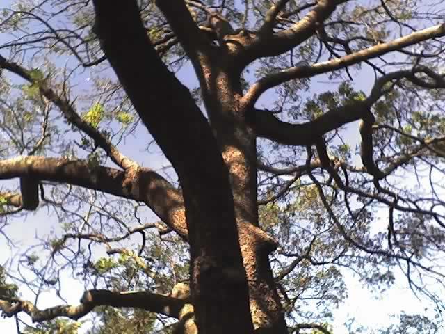 Ekebergia_capensis
