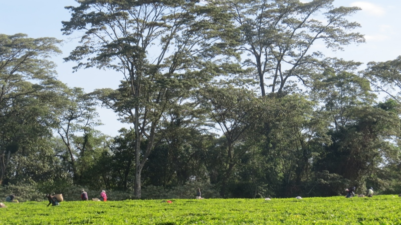 South Nandi Forest surrounded by Nyayo Tea Zone at Kobujoi. May 2019. Copyright Rupi Mangat. (800x450)