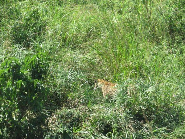 Jun 2019 The leopard slinking away in Maasai Mara. Copyright Rupi Mangat (800x600)