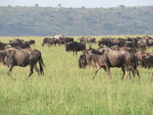June 2019 Wildebeest arriving from Serengeti into Maasai Mara. Copyright Rupi Mangat (800x600)
