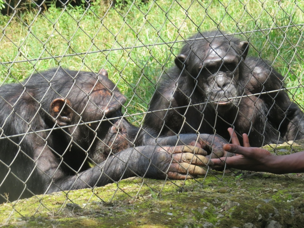 Rescued Chimpanzees at Lwiro Primate Rehabilitation Center. Copyright Rupi Mangat (800x600)