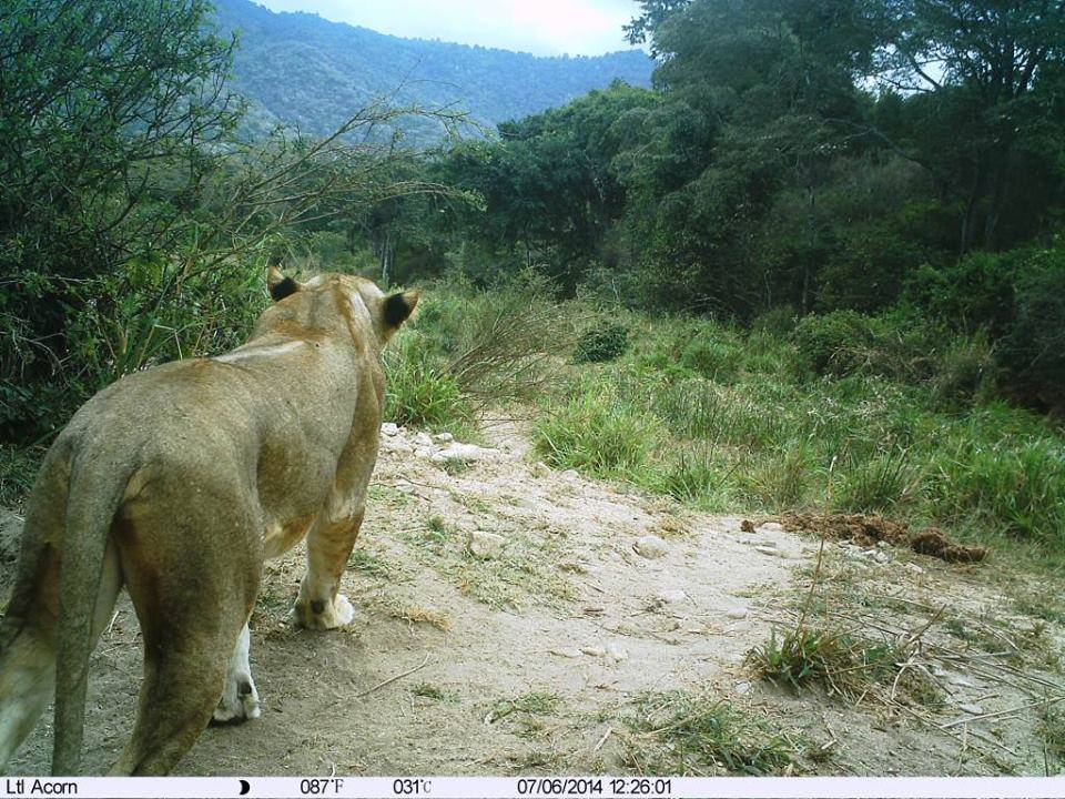 Kitich Forest Camp - lion caught on camera.