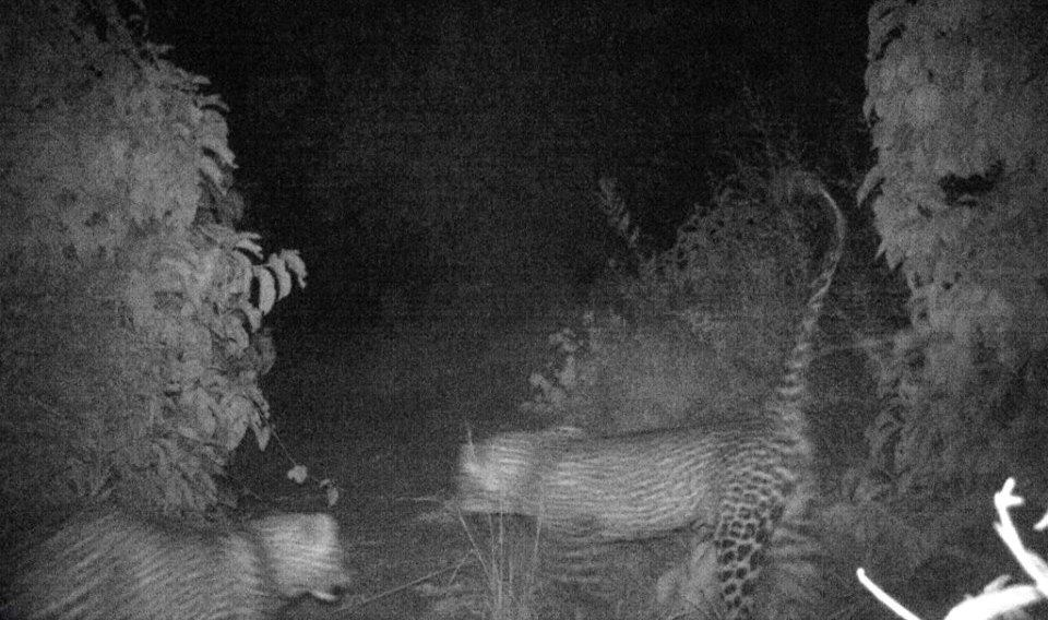 Kitich Forest Camp - two leopards photographed in camp by the hidden camera trap